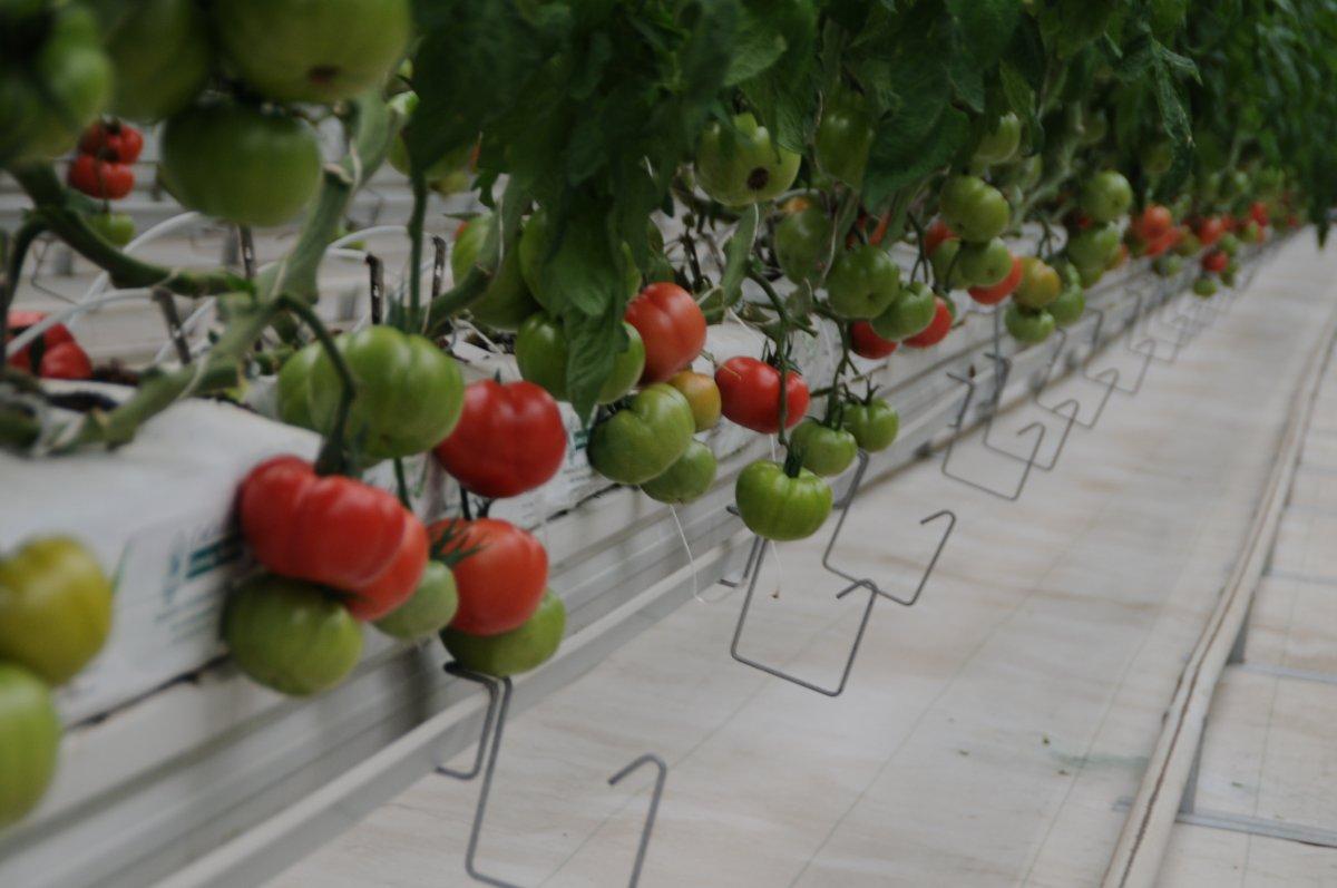 Yerli tohum, domatesleri çürümeye karşı koruyor #2