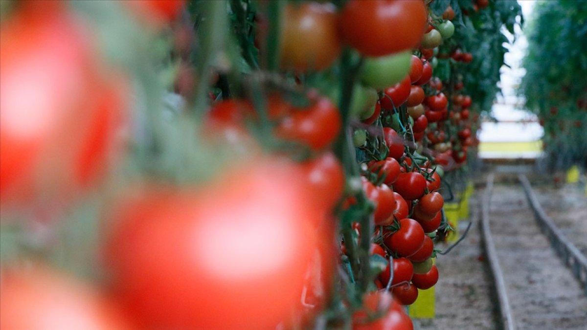 Yerli tohum, domatesleri çürümeye karşı koruyor #1