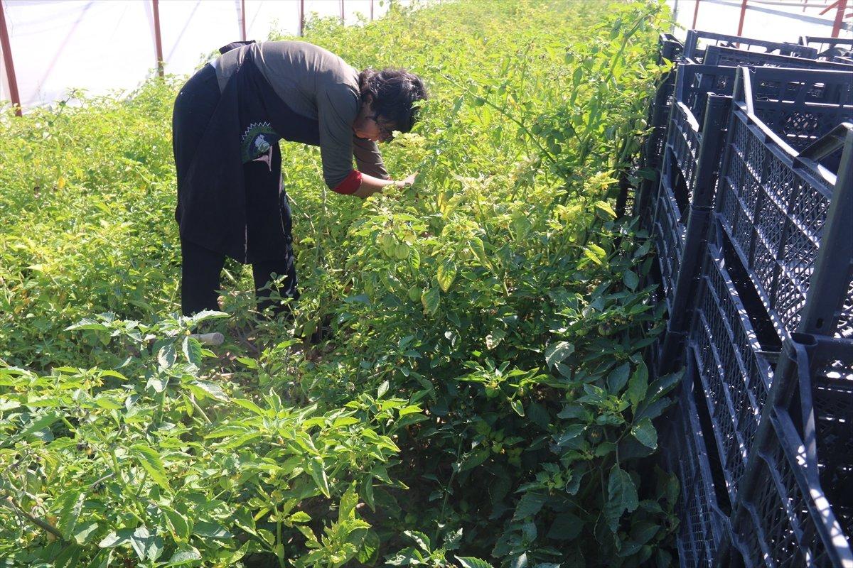 Aksaray da mor çilek yetiştiren vatandaş taleplere yetişmekte zorlanıyor #3