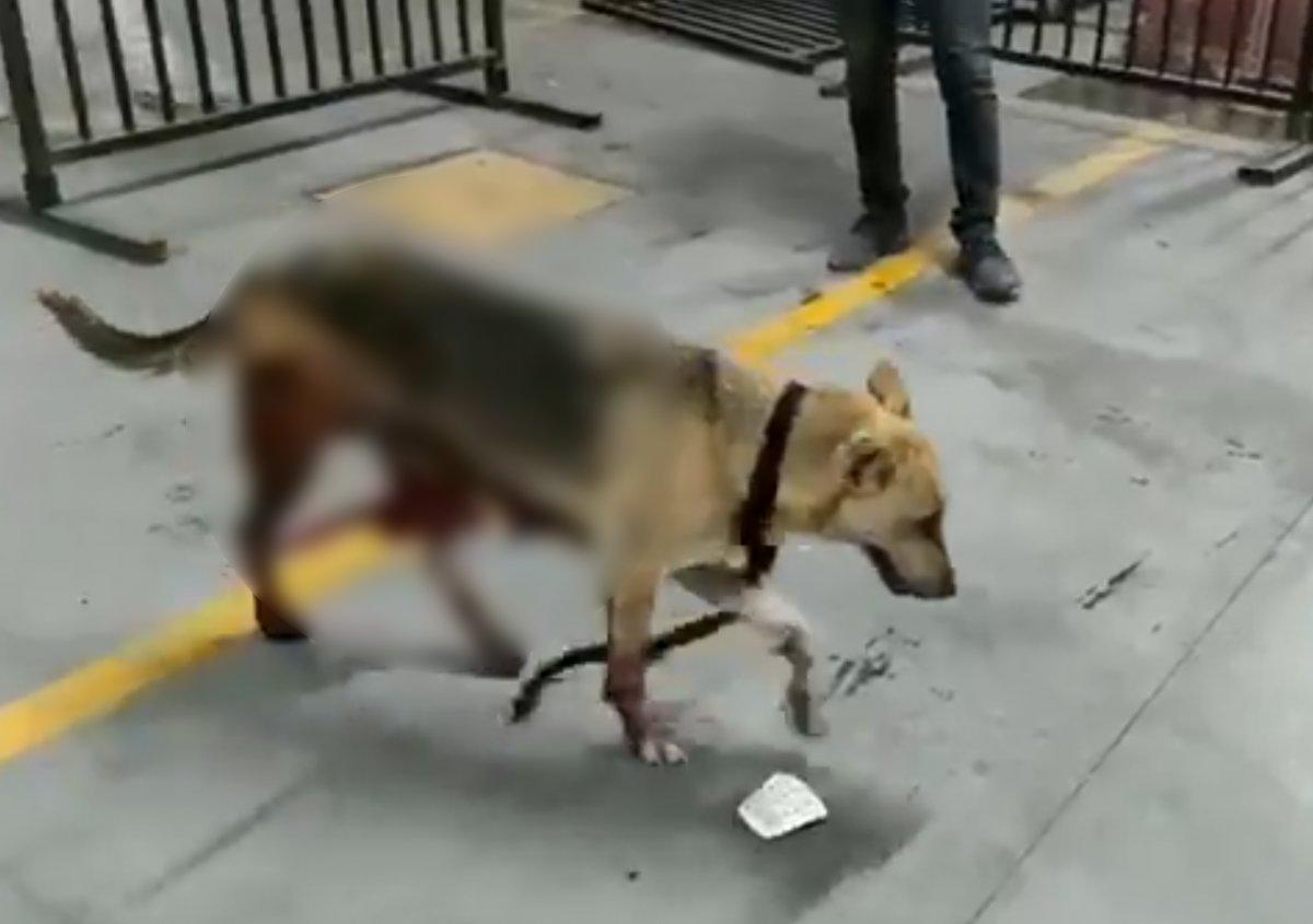 Esenyurt ta İBB nin kısırlaştırdığı köpeğin bağırsakları dışarı çıktı #1
