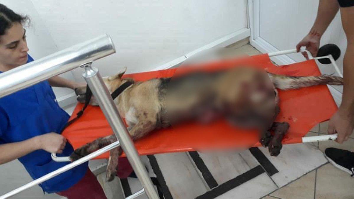 Esenyurt ta İBB nin kısırlaştırdığı köpeğin bağırsakları dışarı çıktı #2