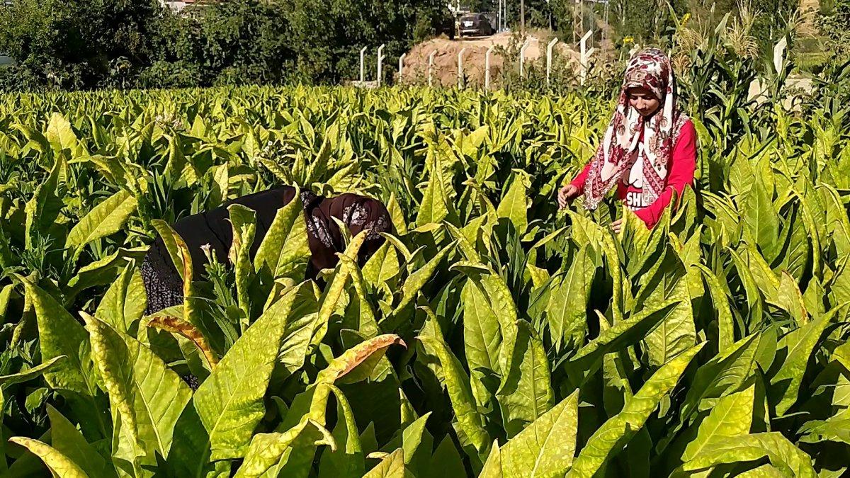 Adıyaman da tütün tarlasında çalışan genç kız, tıp fakültesi kazandı #1