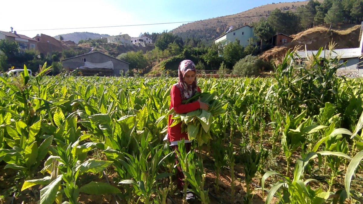 Adıyaman da tütün tarlasında çalışan genç kız, tıp fakültesi kazandı #2