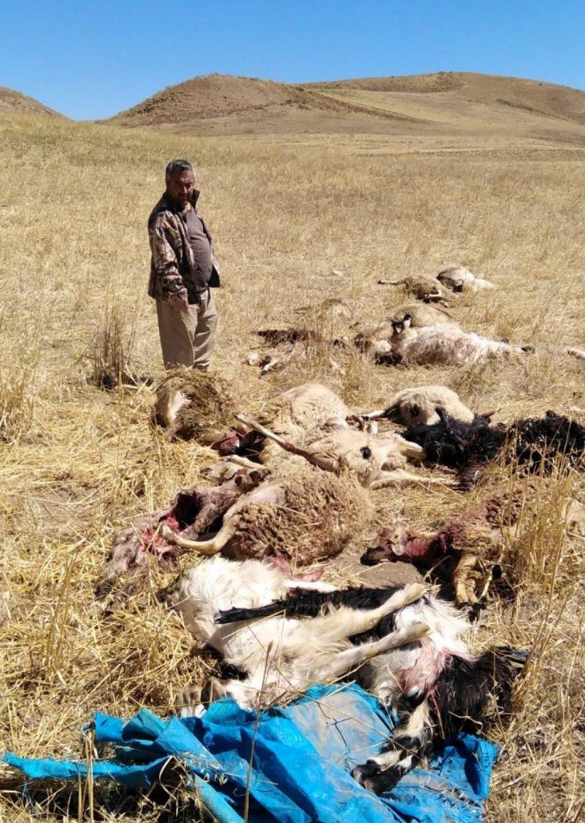 Çorum da kurtlar sürüye saldırdı: 30 hayvan öldü #1
