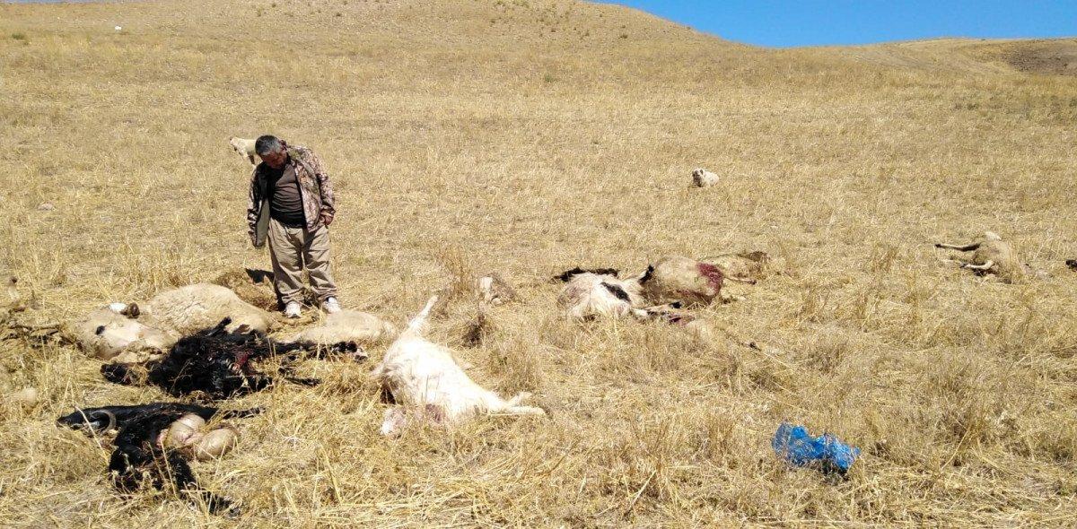 Çorum da kurtlar sürüye saldırdı: 30 hayvan öldü #2