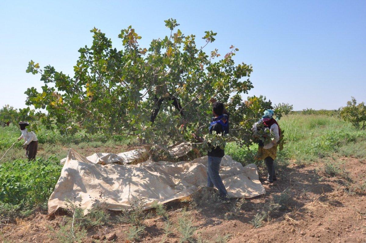Şanlıurfa TİGEM'de fıstık hasadı devam ediyor #3