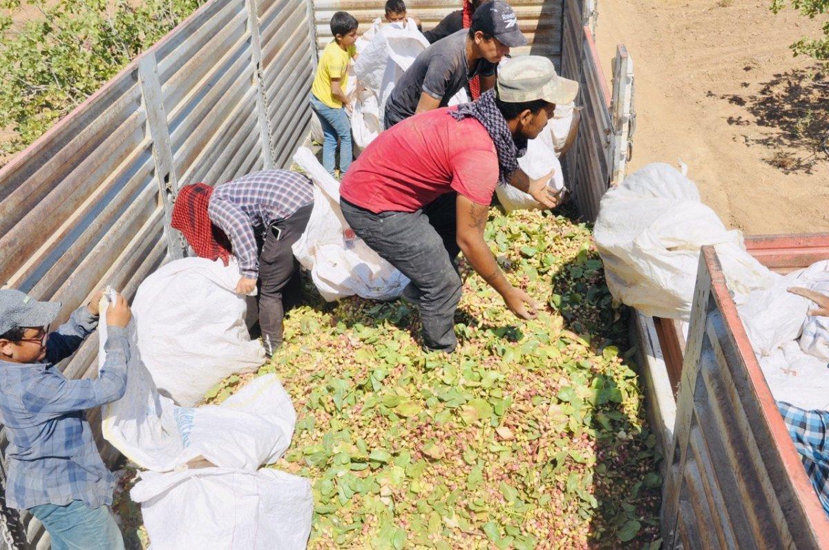 Şanlıurfa TİGEM'de fıstık hasadı devam ediyor #2