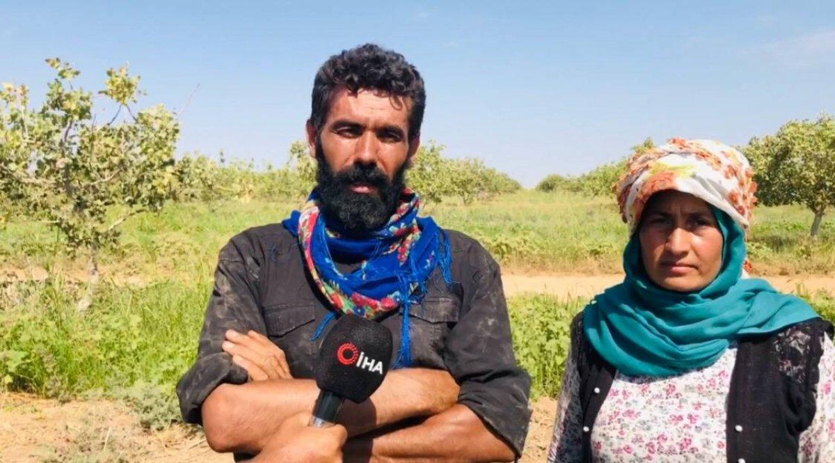 Şanlıurfa TİGEM'de fıstık hasadı devam ediyor #4