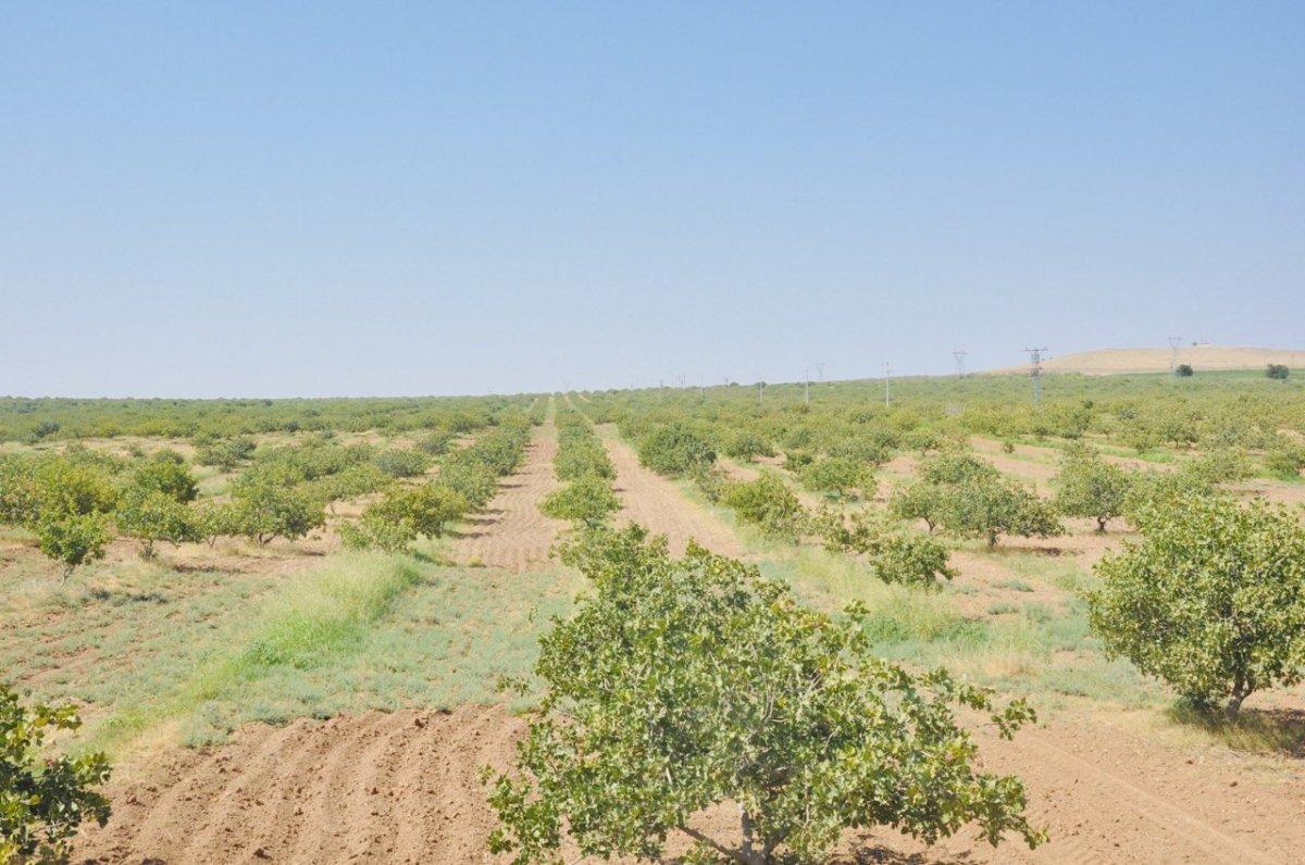Şanlıurfa TİGEM'de fıstık hasadı devam ediyor #1