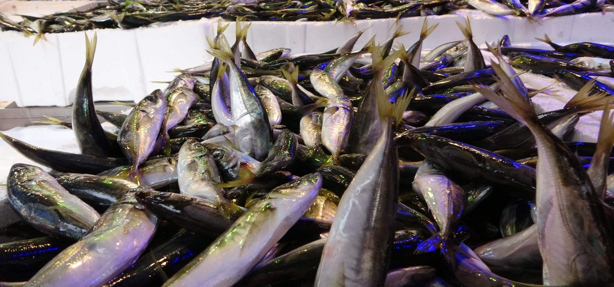 Karadeniz de son 10 yılın istavrit bolluğu yaşanıyor #3