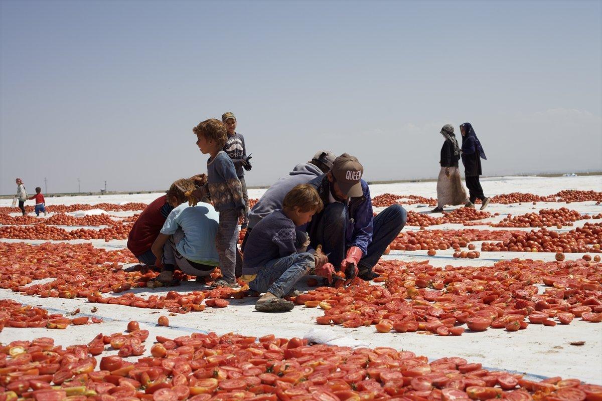 Konya nın kurutulmuş domatesleri İtalya da makarna sosu oluyor #2