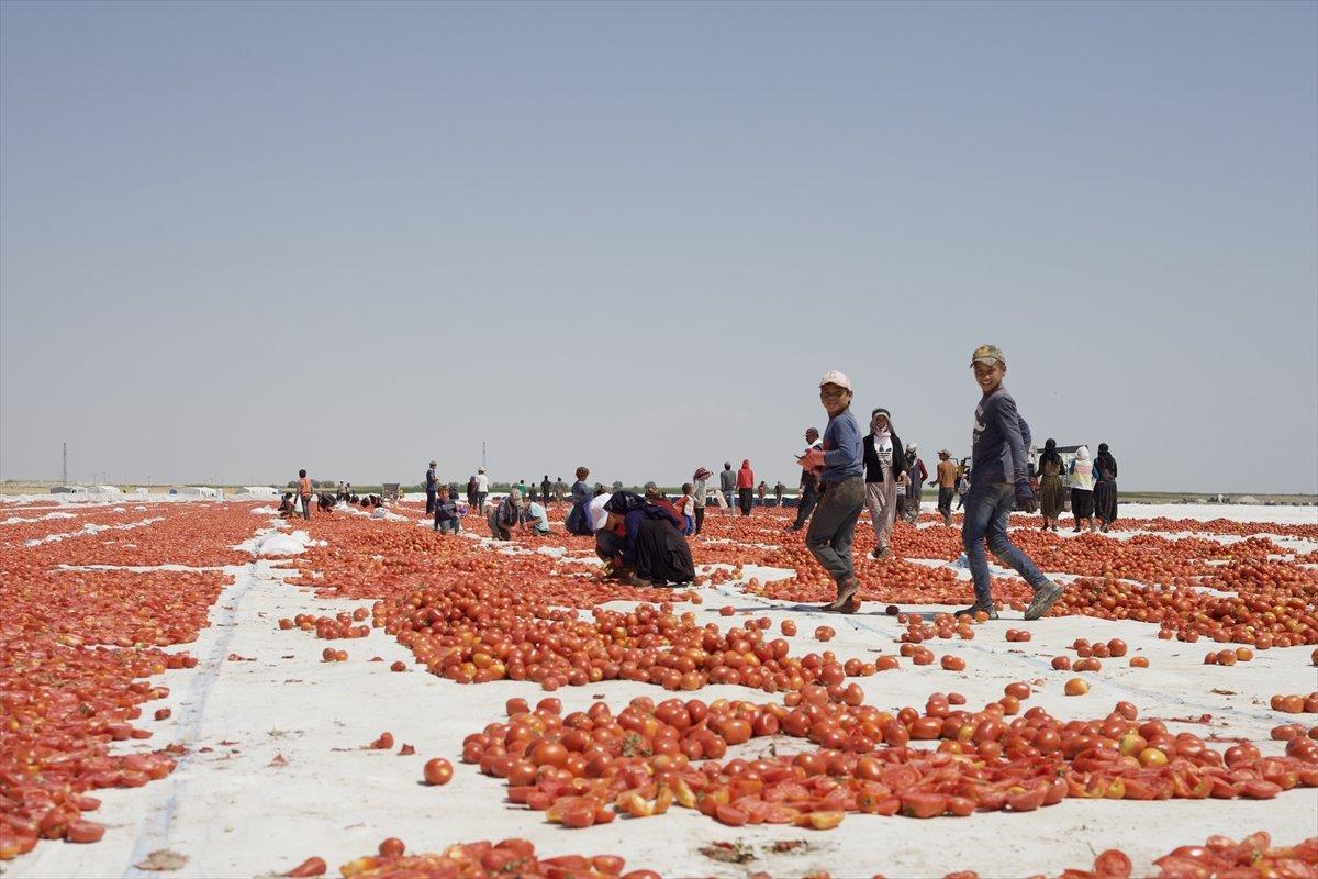 Konya nın kurutulmuş domatesleri İtalya da makarna sosu oluyor #4