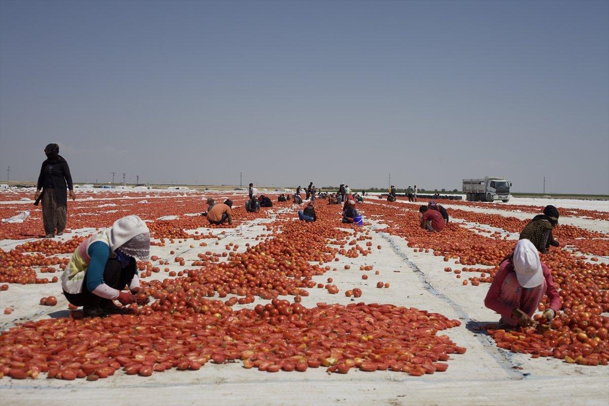 Konya nın kurutulmuş domatesleri İtalya da makarna sosu oluyor #6