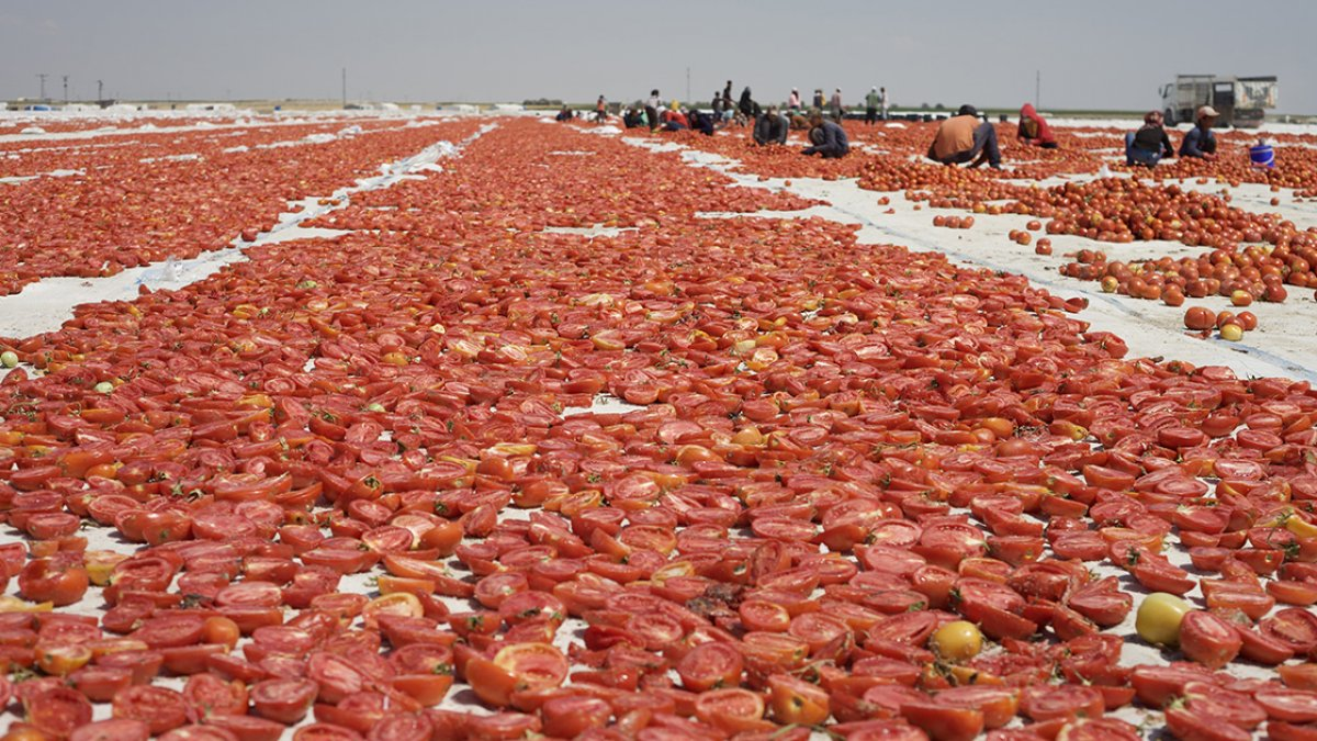 Konya nın kurutulmuş domatesleri İtalya da makarna sosu oluyor #3