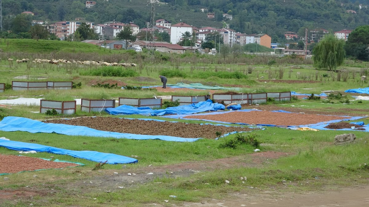 Ordu da yağmur fındığı ıslatınca kurutma çalışması başlatıldı #2