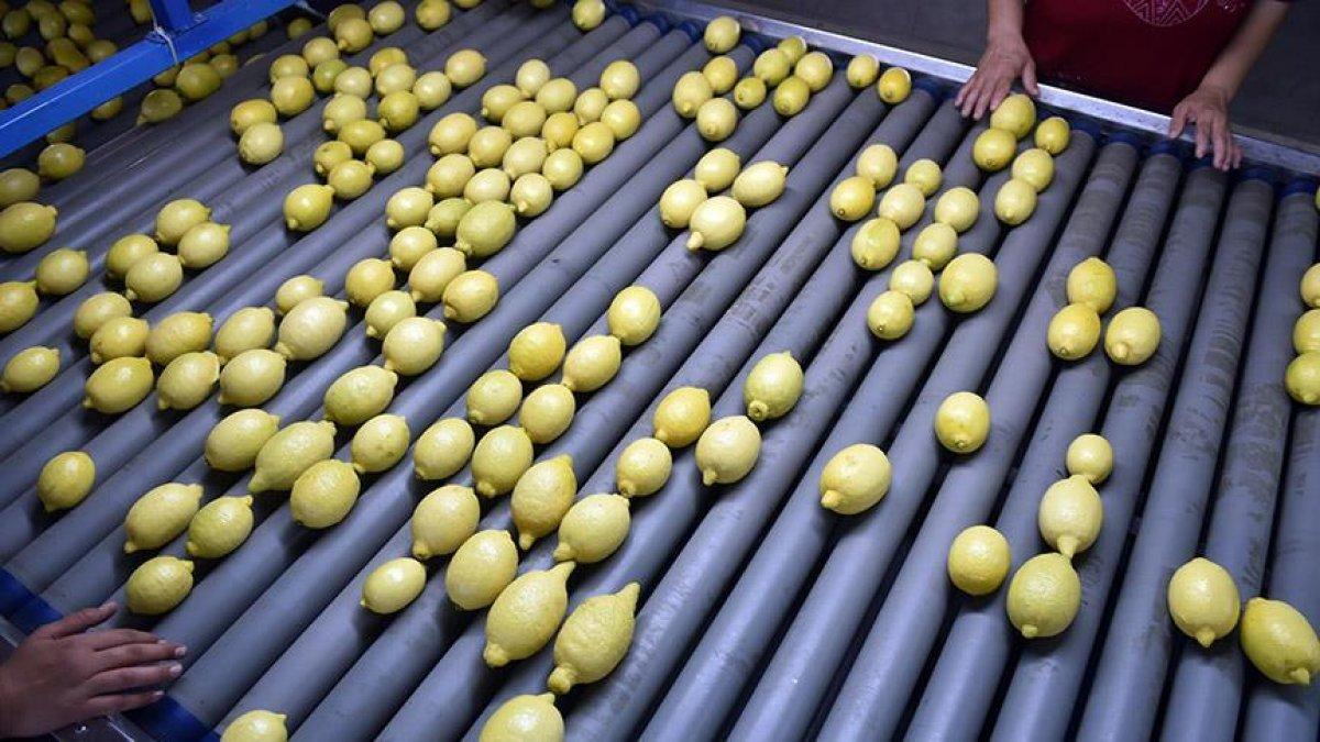 Enterdonat cinsi limonun ihracatı 17 Eylül de başlıyor #1