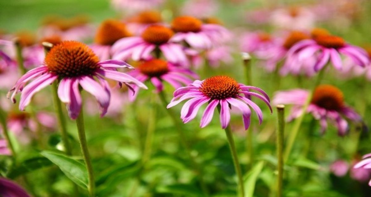 Bağışıklığı güçlendiren 10 bitki çayı #1