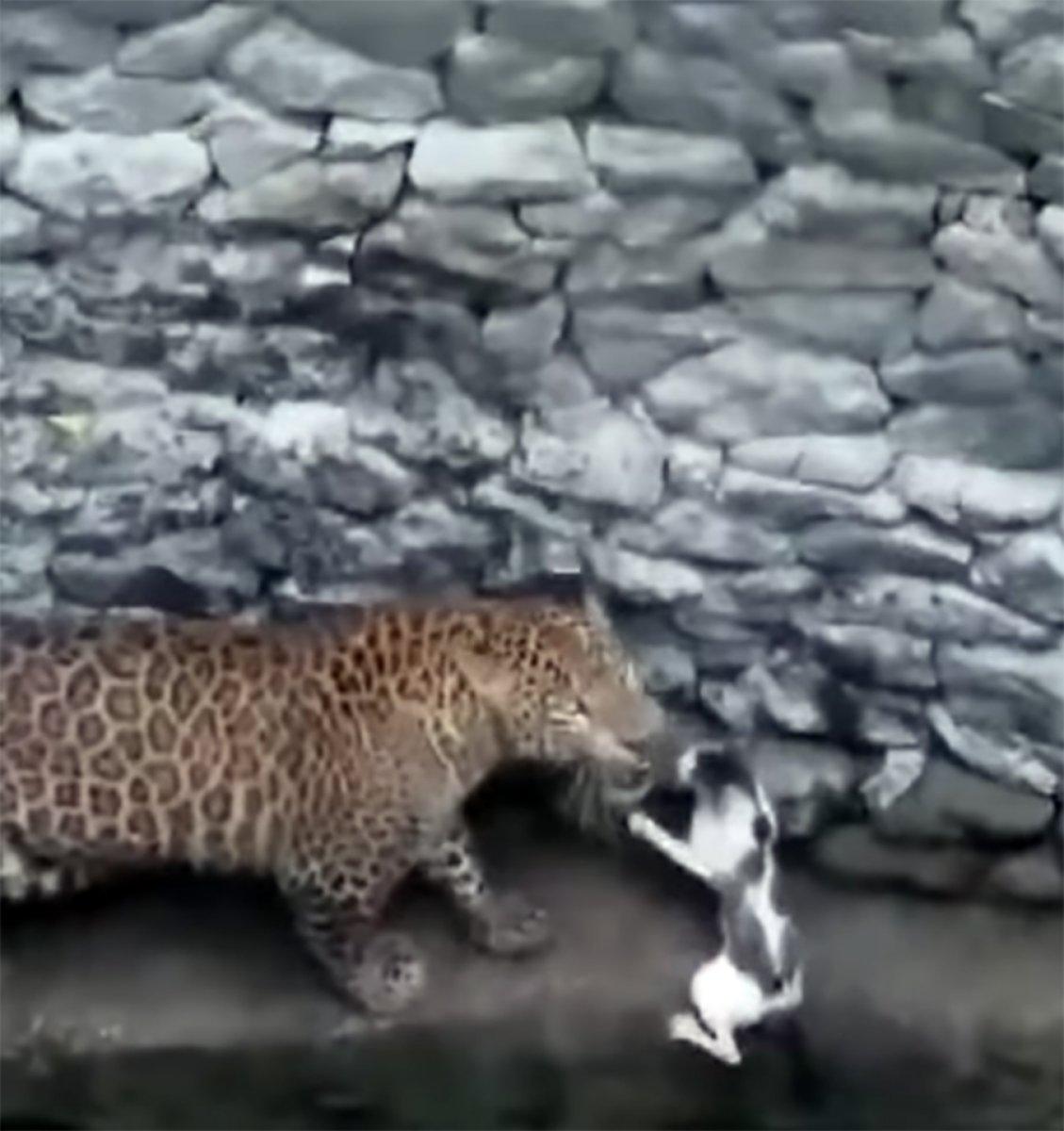 Leopara meydan okuyan kedi kamerada #2