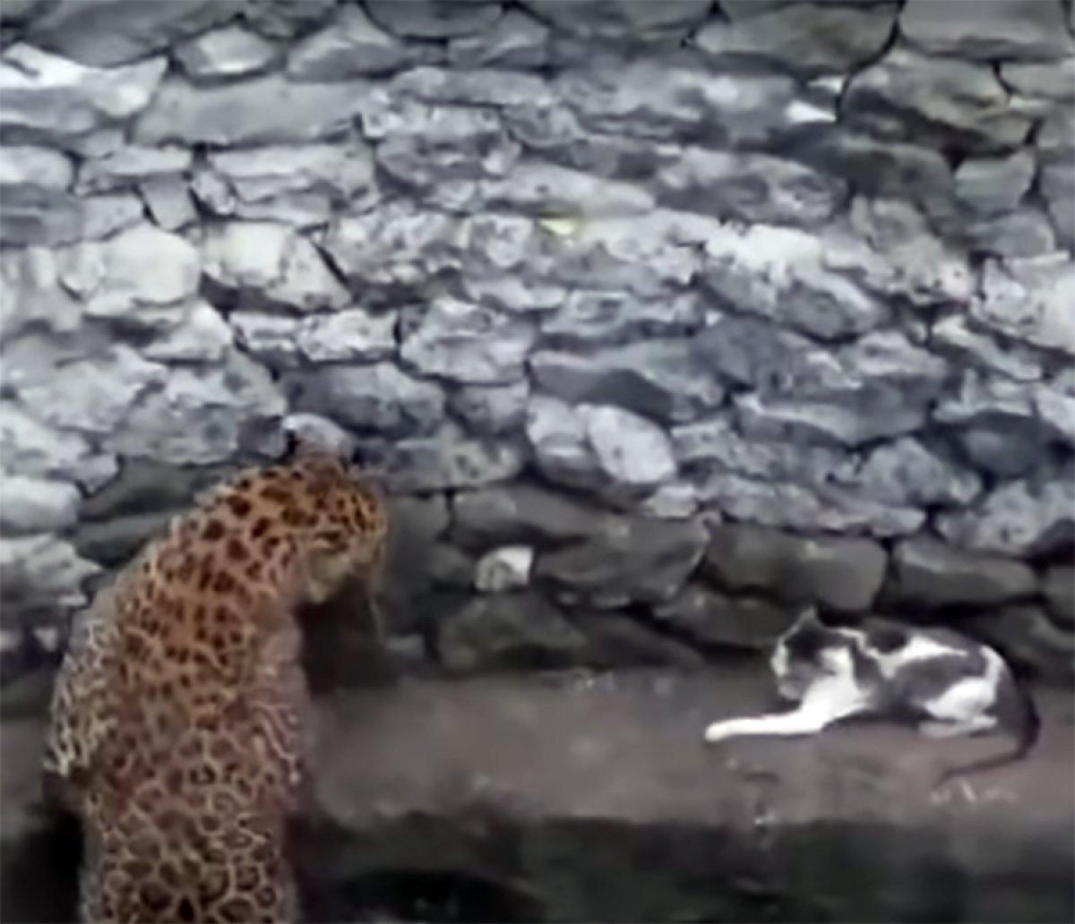 Leopara meydan okuyan kedi kamerada #1