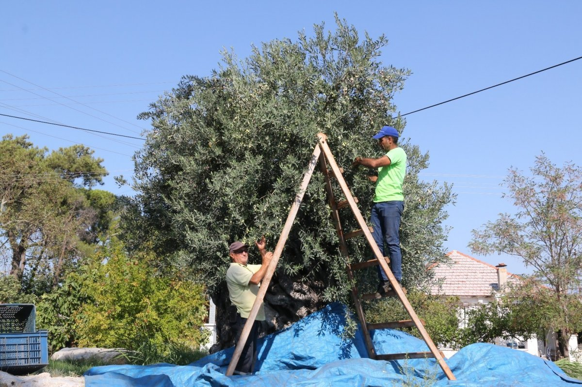 1.200 yaşındaki zeytin ağacından kasa kasa ürün alınıyor #8