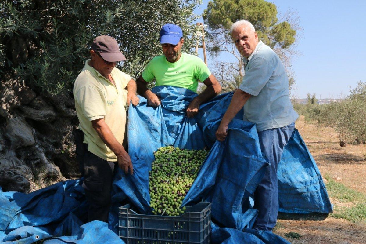 1.200 yaşındaki zeytin ağacından kasa kasa ürün alınıyor #2