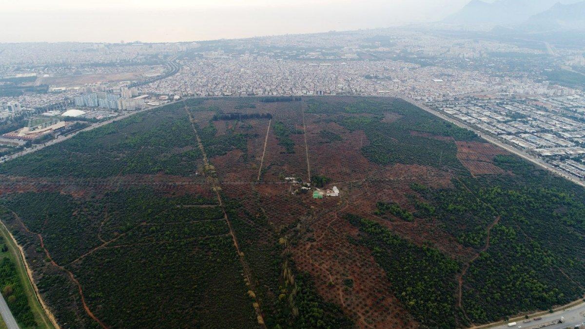 1.200 yaşındaki zeytin ağacından kasa kasa ürün alınıyor #5