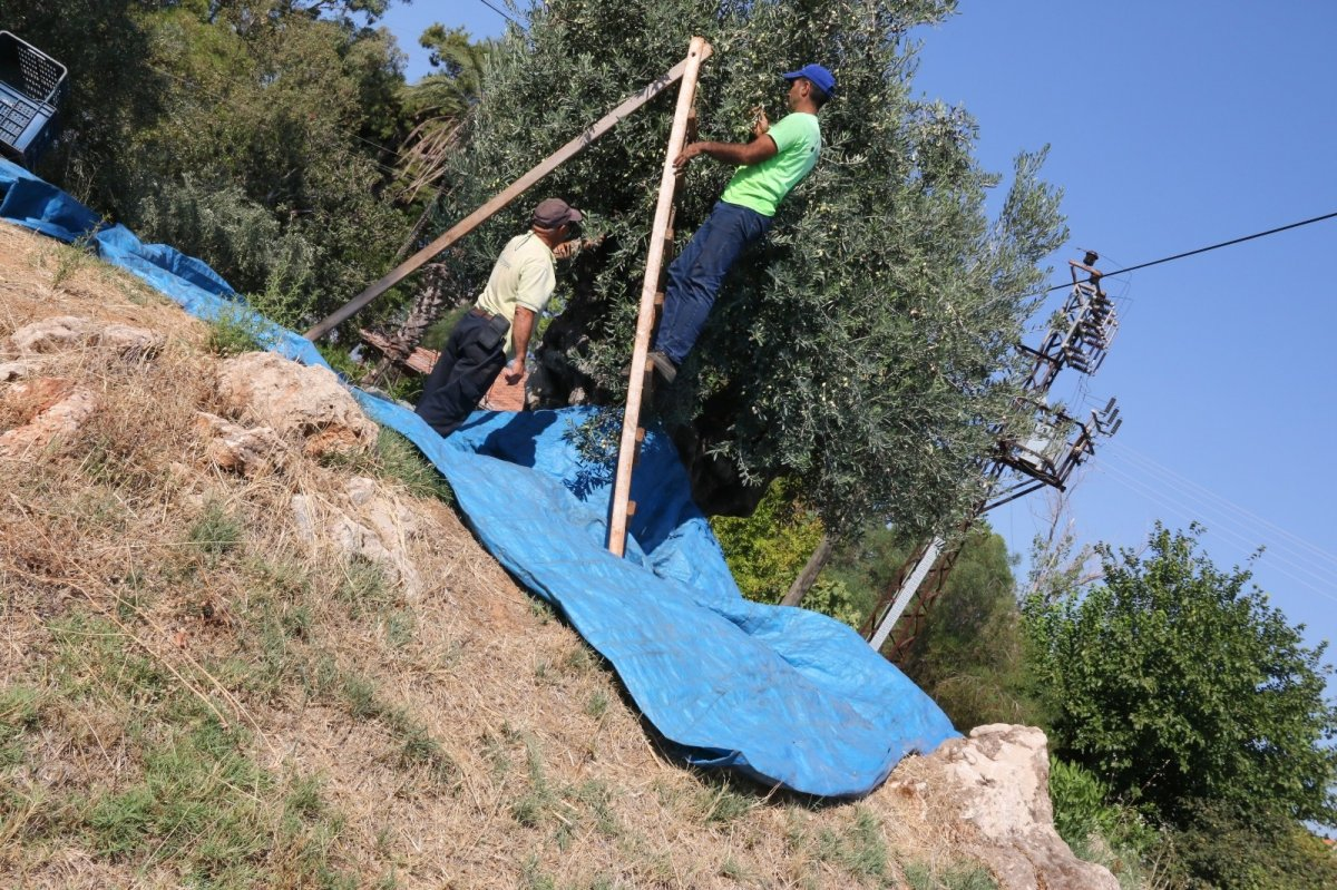 1.200 yaşındaki zeytin ağacından kasa kasa ürün alınıyor #3