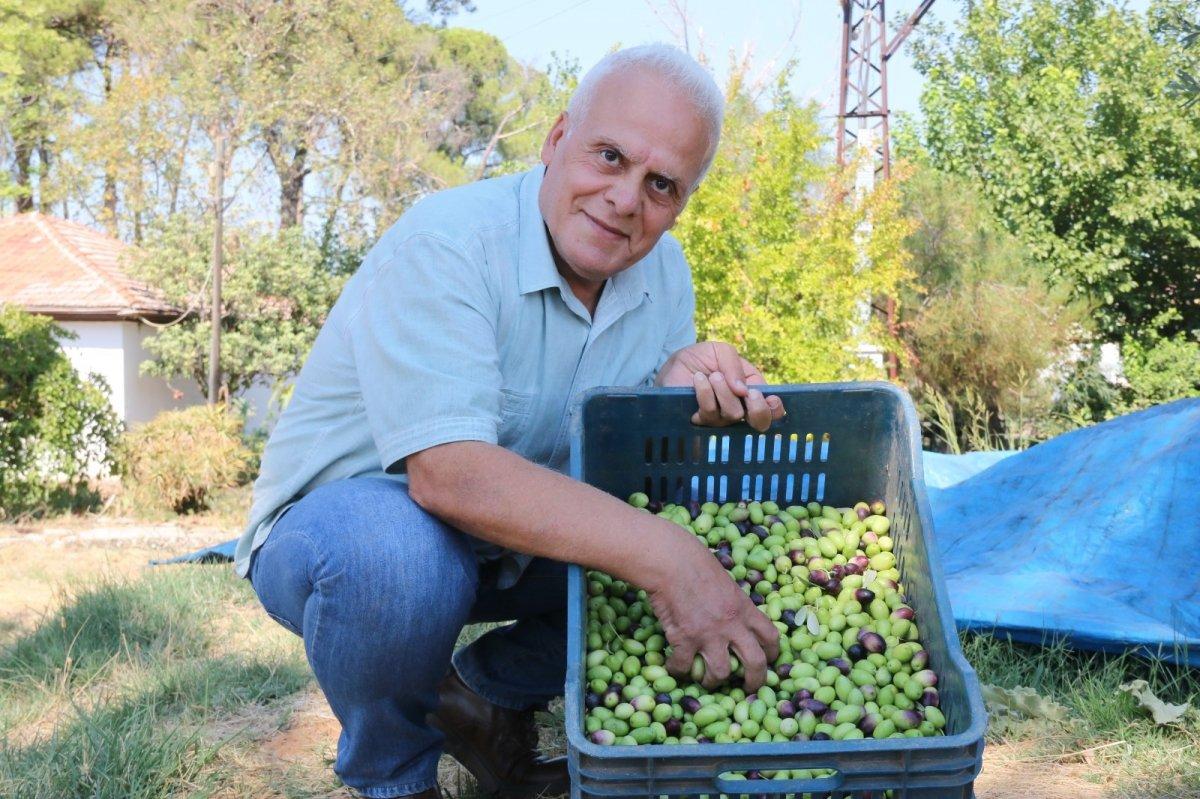 1.200 yaşındaki zeytin ağacından kasa kasa ürün alınıyor #1