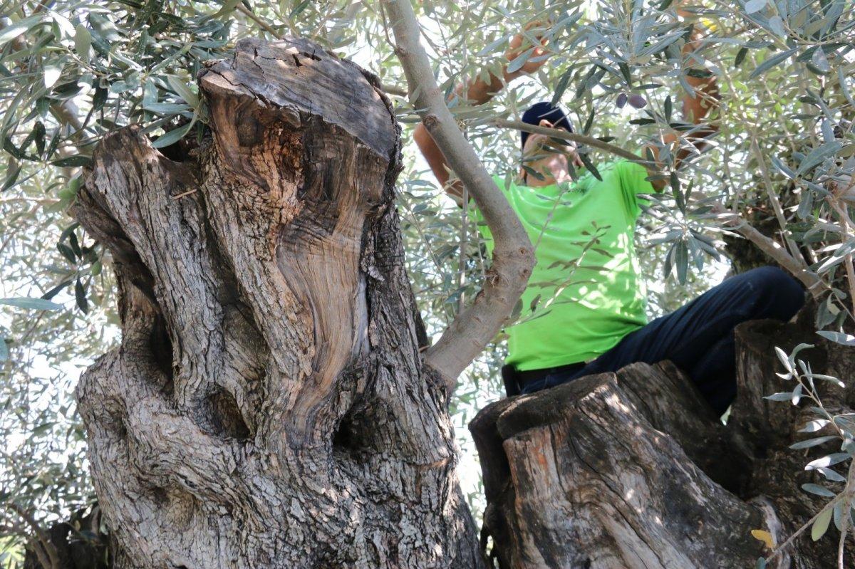 1.200 yaşındaki zeytin ağacından kasa kasa ürün alınıyor #7