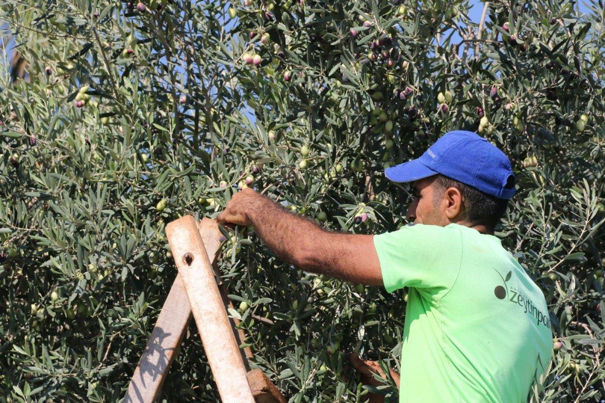 1.200 yaşındaki zeytin ağacından kasa kasa ürün alınıyor #4