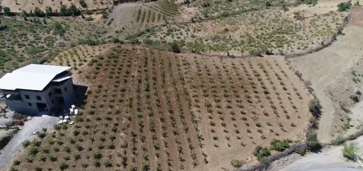 Bingöl de terör nedeniyle atıl kalan arazilerde şimdi üzüm üretiliyor #1