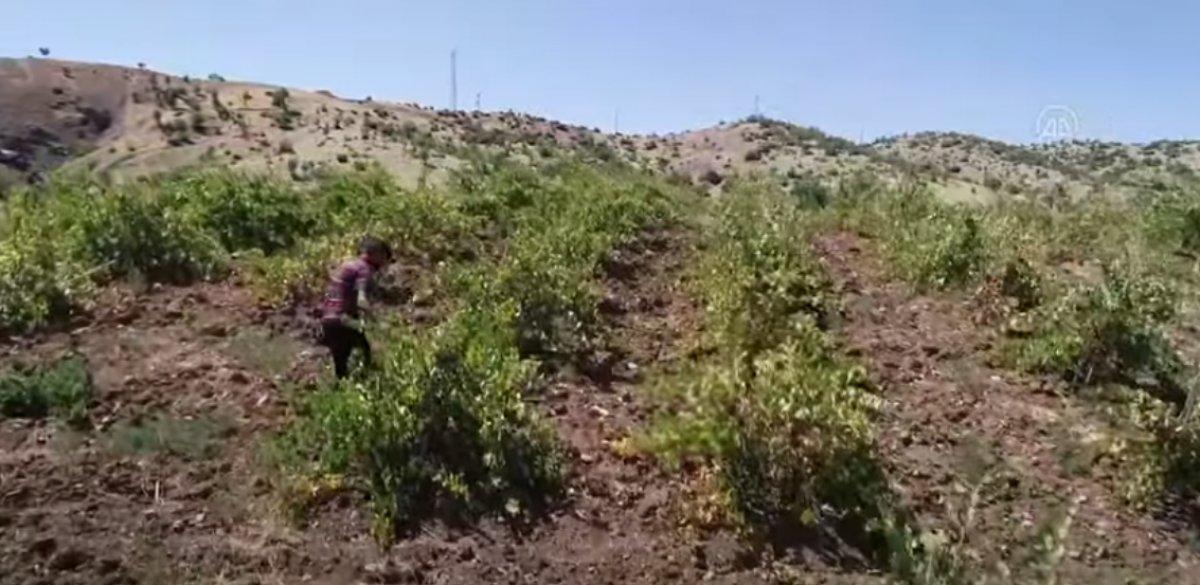 Bingöl de terör nedeniyle atıl kalan arazilerde şimdi üzüm üretiliyor #4