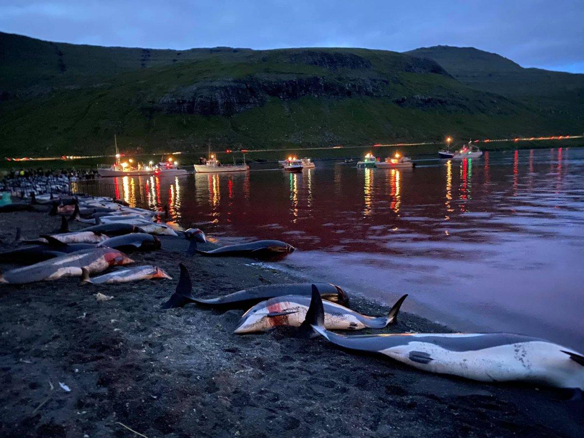 Danimarka da yüzlerce yunus festivalde öldürüldü #2