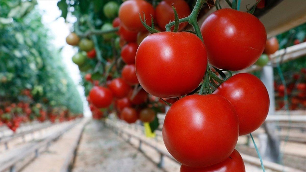 Koronavirüse karşı domates aşısı geliştirildi #1