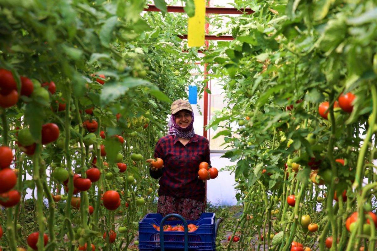 Burdur un Söğüt domatesine yoğun ilgi #3