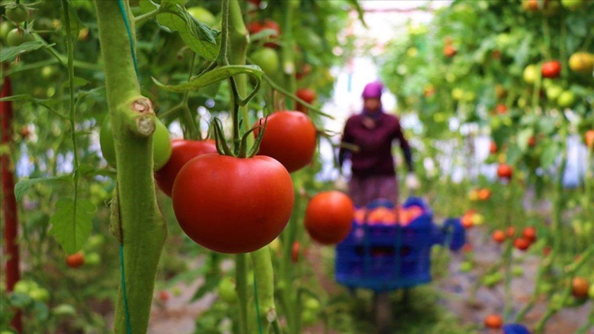 Burdur un Söğüt domatesine yoğun ilgi #4