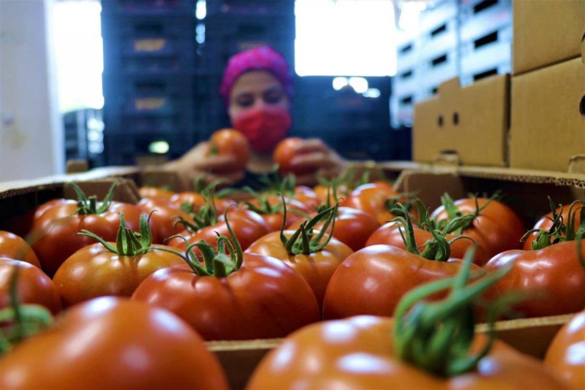 Burdur un Söğüt domatesine yoğun ilgi #1