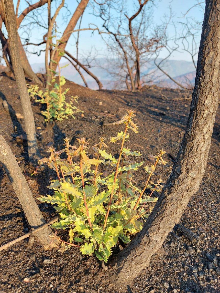Marmaris te yanan ormanlar yeniden yeşeriyor #2