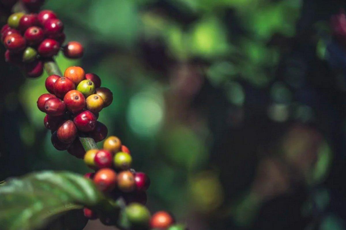 Kahve türlerinin yüzde 60 ı tükeniyor #1