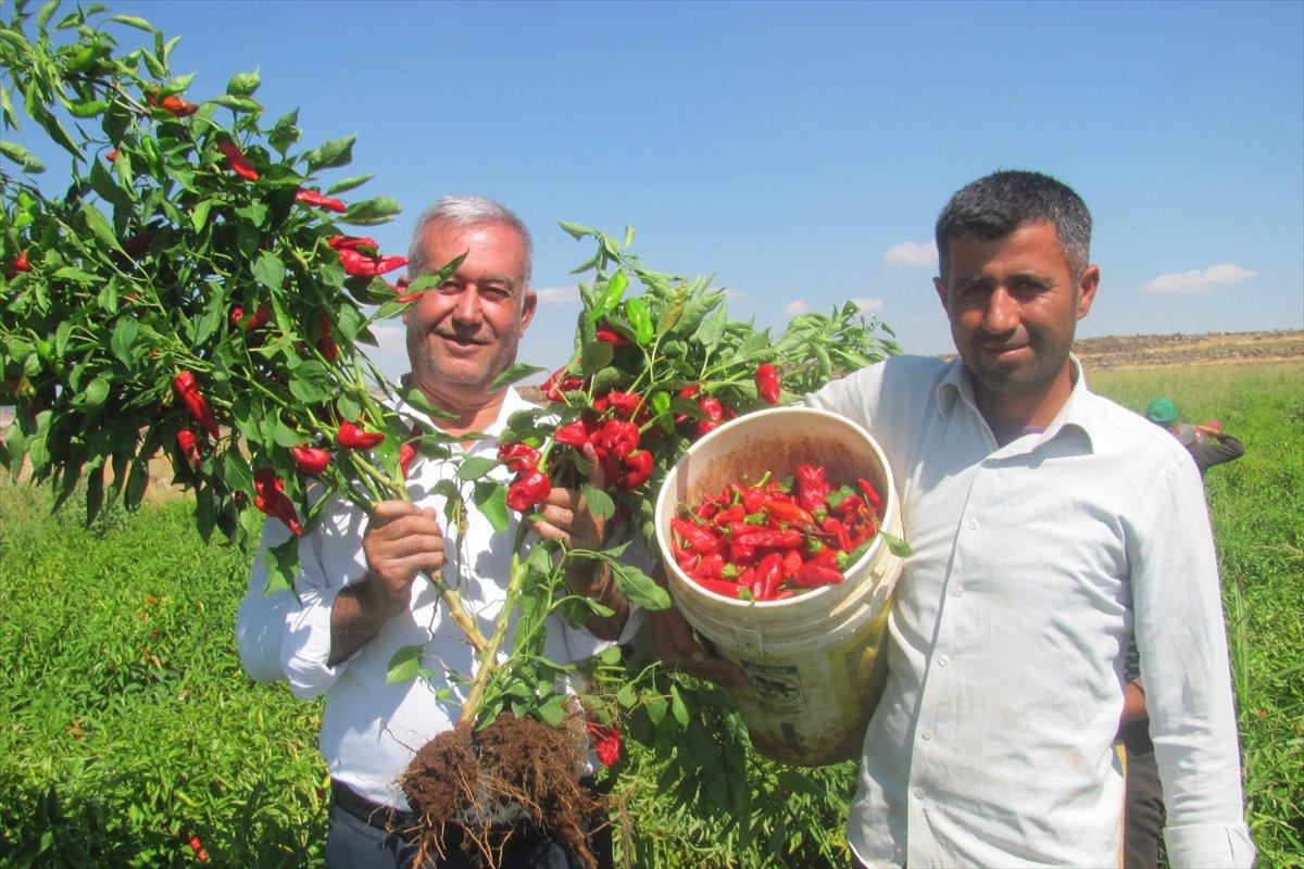 Gaziantep Araban Ovası nda kırmızı biber hasadı #2
