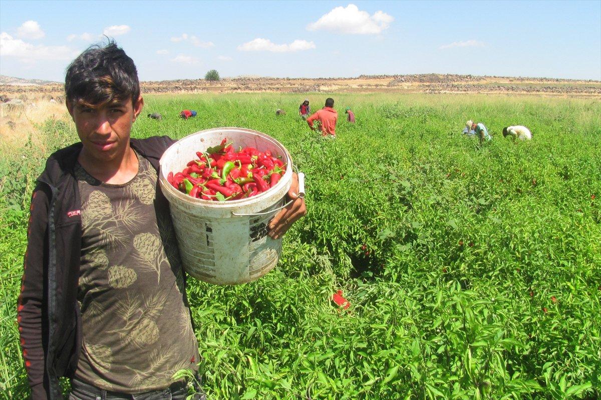 Gaziantep Araban Ovası nda kırmızı biber hasadı #1