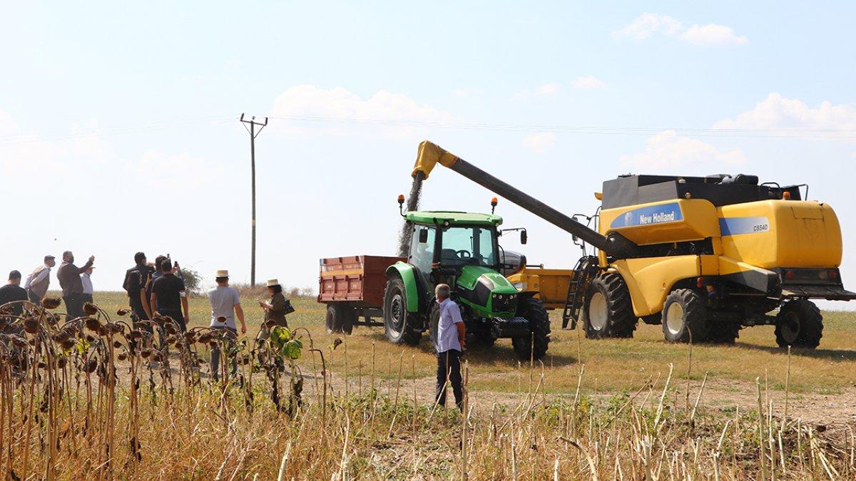 Tekirdağ da yerli ayçiçeği tohumuyla yetiştirilen ürünler hasat edildi #1