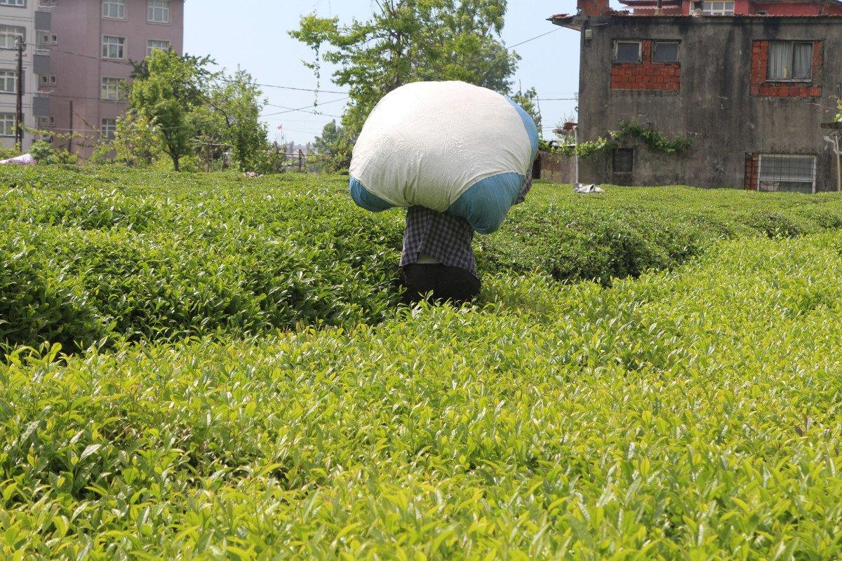 Rize de çay üreticileri hasadı kendileri yaptı: 100 milyon dolar bölgede kaldı #5