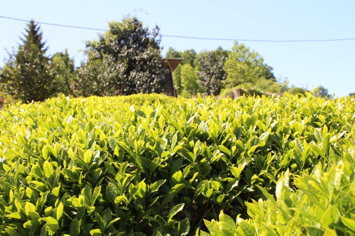 Rize de çay üreticileri hasadı kendileri yaptı: 100 milyon dolar bölgede kaldı #2