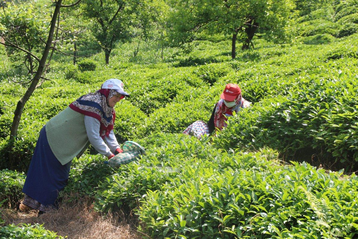 Rize de çay üreticileri hasadı kendileri yaptı: 100 milyon dolar bölgede kaldı #3