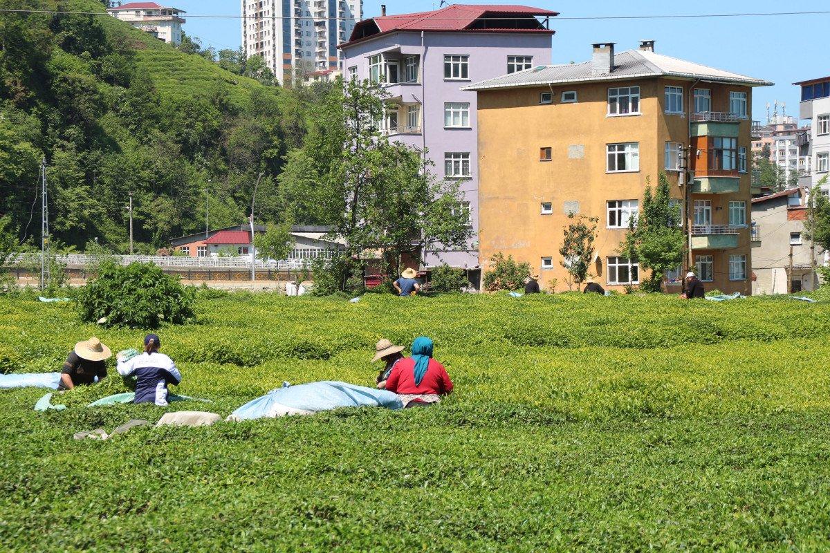 Rize de çay üreticileri hasadı kendileri yaptı: 100 milyon dolar bölgede kaldı #6