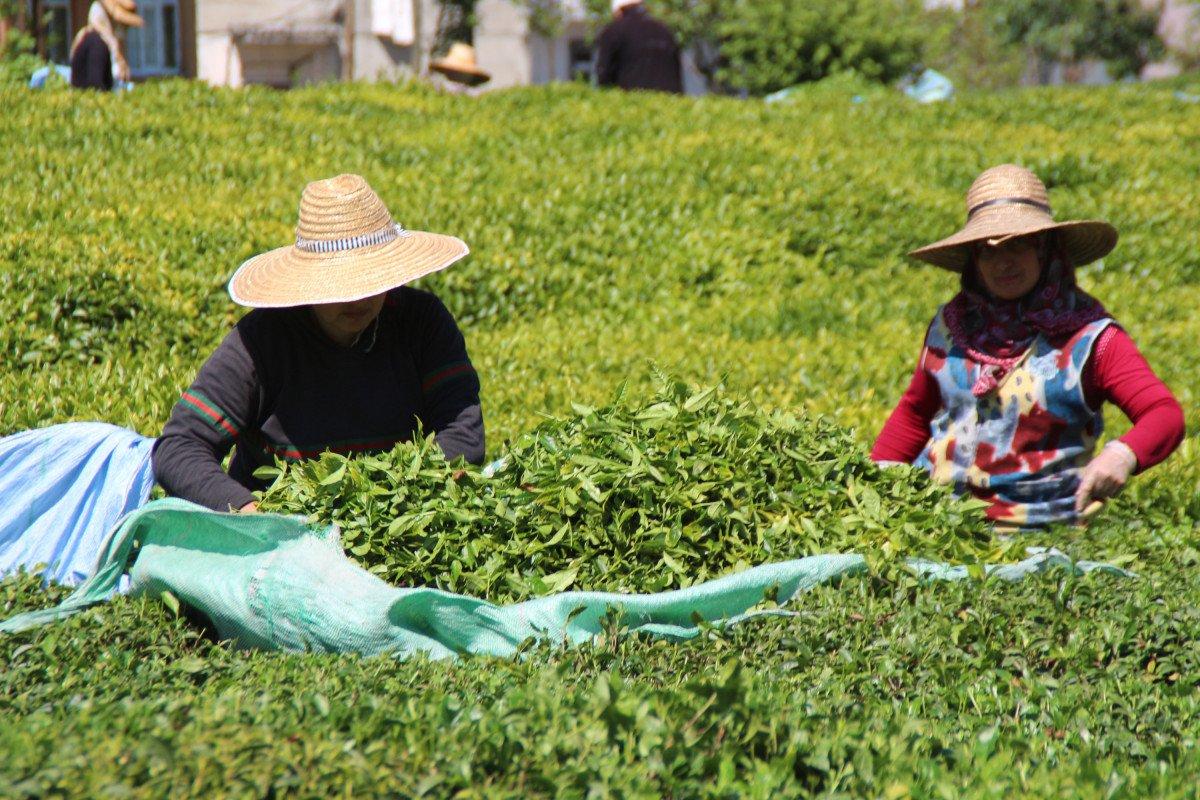 Rize de çay üreticileri hasadı kendileri yaptı: 100 milyon dolar bölgede kaldı #4