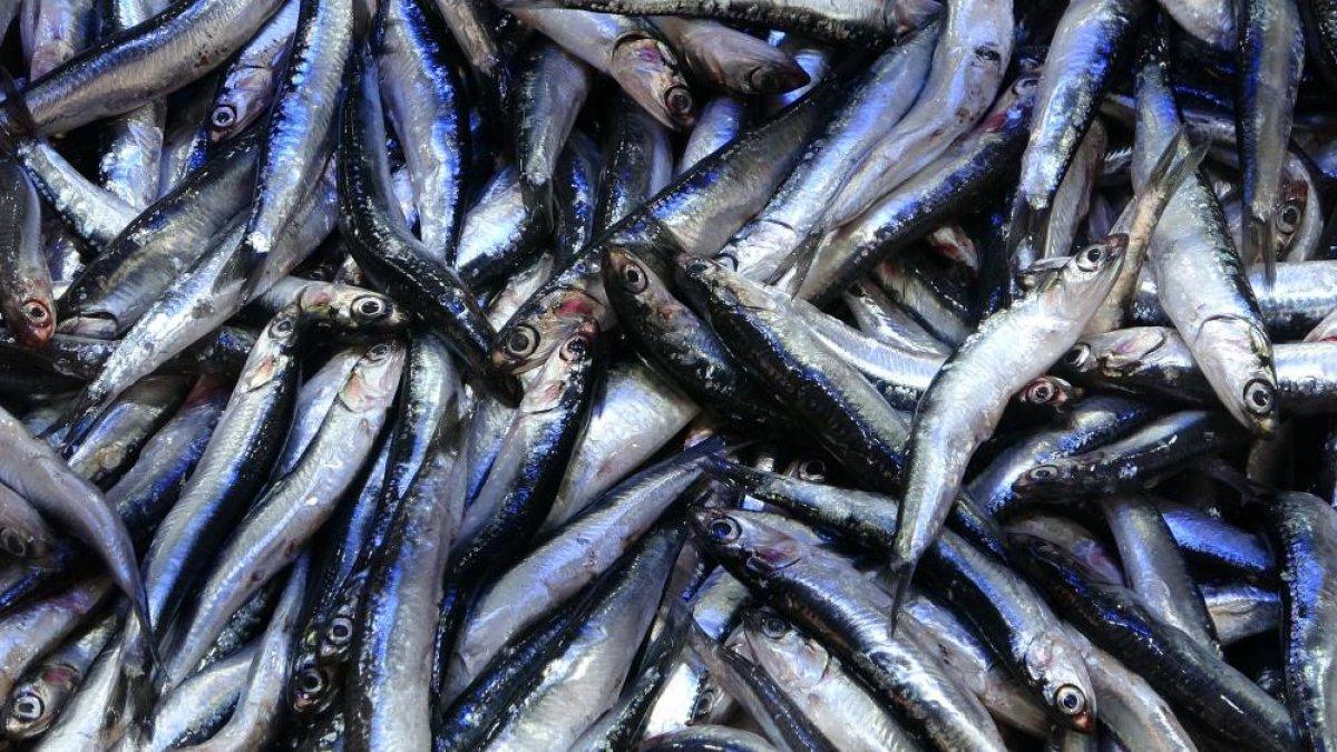 Samsun da son zamanların en bereketli balık sezonu yaşanıyor #1
