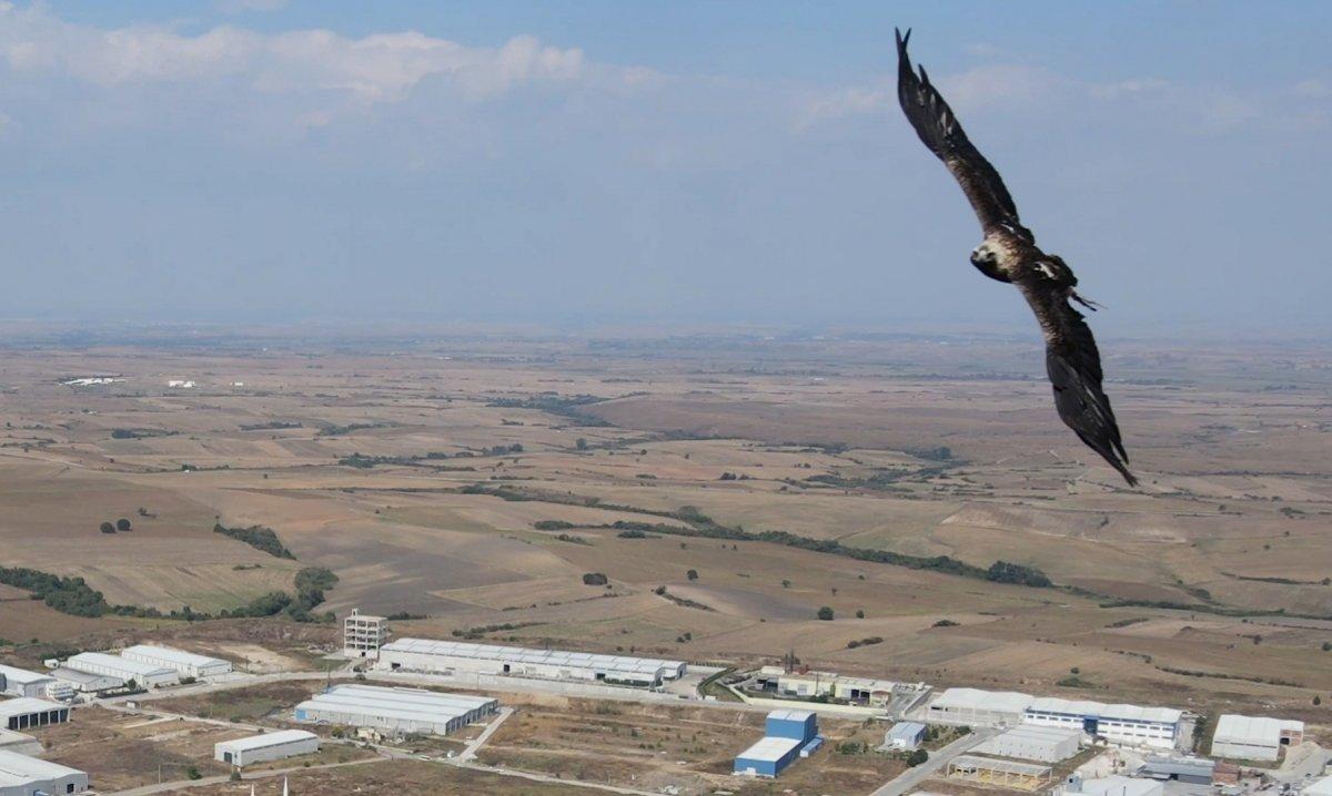 Tekirdağ'da drone gören kartal  #2