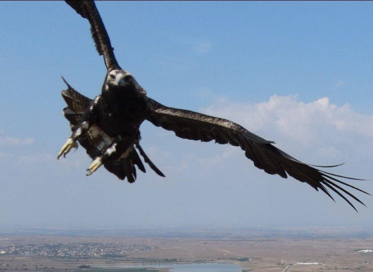 Tekirdağ'da drone gören kartal  #1